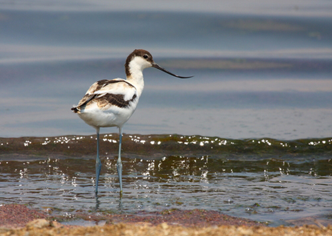 A wading avocet at the Gibraltar Point Nature Reserve